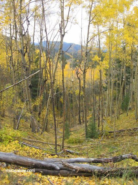 Fall colors in the Sangre de Cristo Mountains, New Mexico