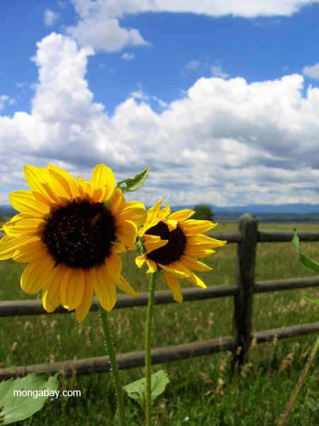 Sunflowers in the Las Vegas National Wildlife Refuge just outside of Las Vegas, New Mexico