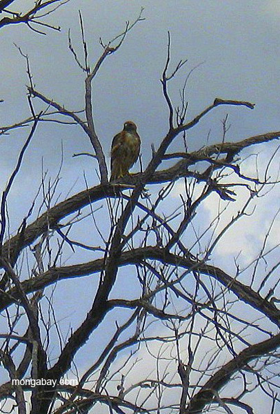 Raptor (species unknown) in the Las Vegas National Wildlife Refuge just outside of Las Vegas, New Mexico