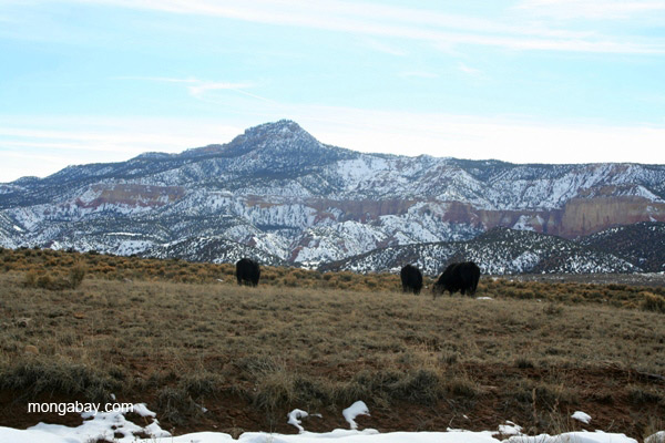 Cattle in northern New Mexico