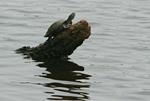 Turtle in Anangucocha lake in Yasuni National Park in Ecuadorean Amazon