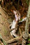 Lizard in the anolis genus in Yasuni National Park in the Ecuadorian Amazon