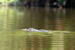 Black caiman (Melanosuchus niger) in an ox-bow lake in Yasuni National Park in the Ecuadorian Amazon