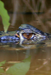 Black caiman (Melanosuchus niger) with fly in an ox-bow lake in Yasuni National Park in the Ecuadorian Amazon