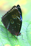 Morpho butterfly in Yasuni National Park in the Ecuadorian Amazon