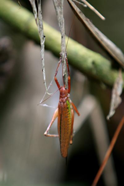 Katydid in Yasuni National in the Ecuadorian Amazon