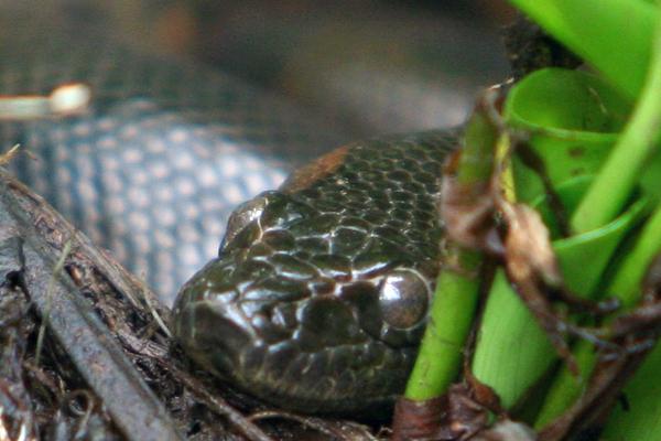 Juvenile green anaconda (Eunectes murinus) in Yasuni National Park in the Ecuadorian Amazon