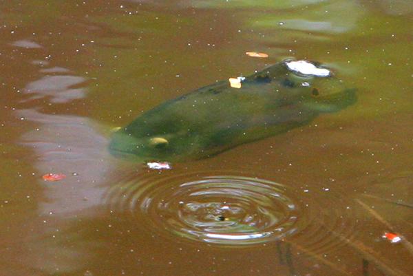 Fish in oxbow lake in Yasuni National Park in the Ecuadorian Amazon