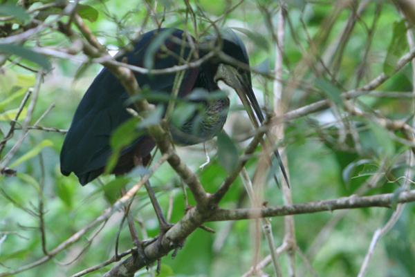 Agami heron (Agamia agami) in Yasuni National Park in the Ecuadorian Amazon