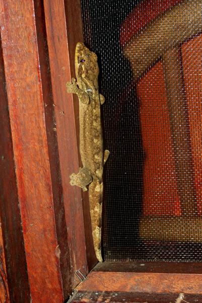Gecko in lodge in Yasuni National Park in the Ecuadorian Amazon