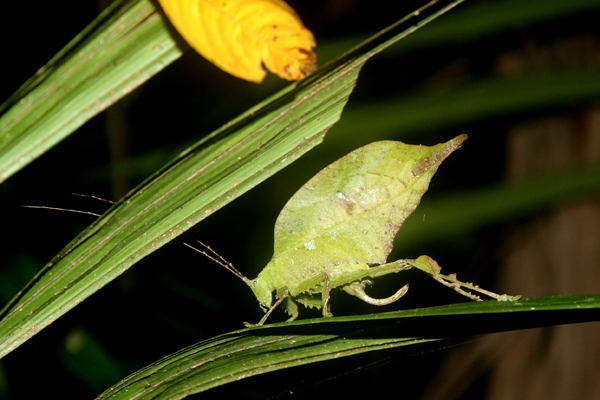 Katydid at night in Yasuni National Park in th Ecuadorian Amazon
