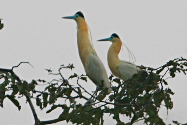 Capped herons (Pilherodius pileatus) in Yasuni National Park in the Ecuadorian Amazon