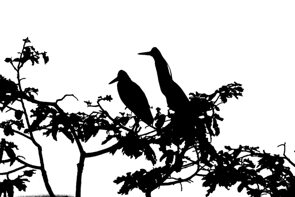 Capped herons (Pilherodius pileatus) in Yasuni National Park in the Ecuadorian Amazon