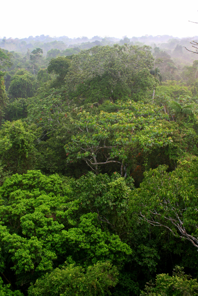 View from observation tower in Yasuni National Park in the Ecuadorian Amazon