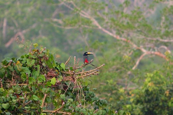 Many-banded aracari (Pteroglossus pluricinctus) in Yasuni National Park in the Ecuadorian Amazon