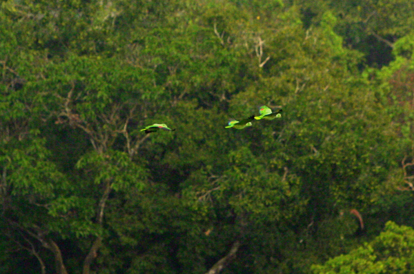 Parrots (species?) in Yasuni National Park in the Ecuadorian Amazon