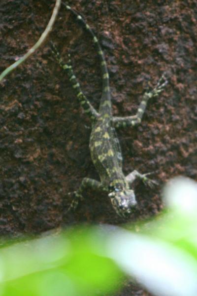 Lizard in Yasuni National Park in the Ecuadorian Amazon