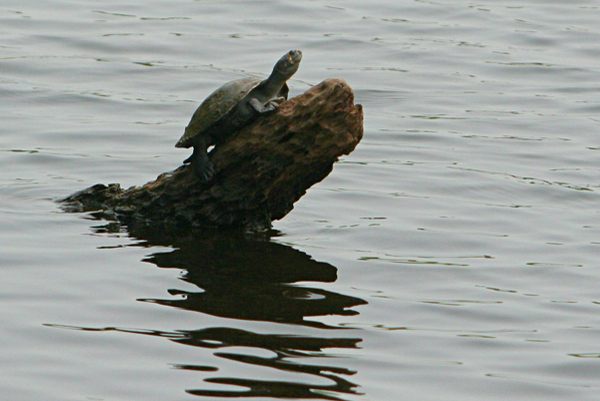 Turtle in Anangucocha lake in Yasuni National Park in Ecuadorean Amazon