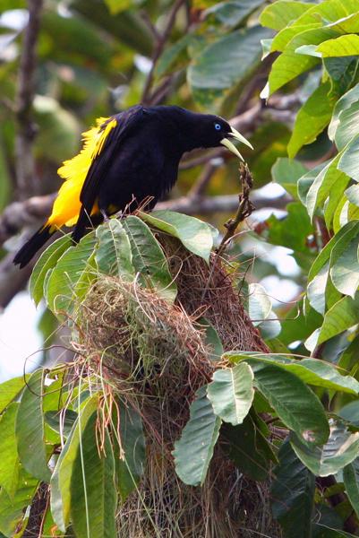 Oropendola (species?) in Yasuni National Park in the Ecuadorian Amazon
