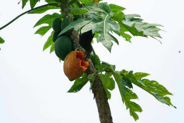 Oropendola (species?) feeding on a mango in Yasuni National Park in the Ecuadorian Amazon