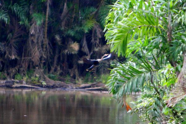 Anhinga (anhinga anhinga) on an ox-bow lake in Yasuni National Park in the Ecuadorian Amazon