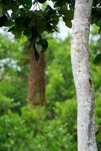 Oropendola nest in Yasuni National Park in the Ecuadorian Amazon