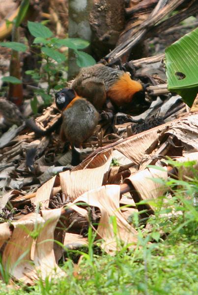 Golden-mantled tamarin (Saguinus tripartitus) raiding a banana garden in Yasuni National Park in the Ecuadorian Amazon