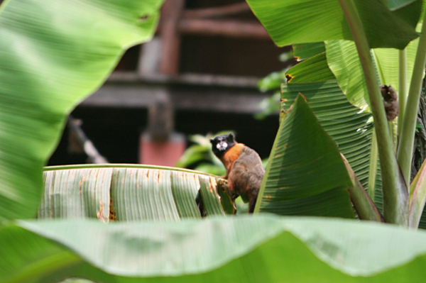 Golden-mantled tamarin (Saguinus tripartitus) raiding a banana garden in Yasuni National Park in the Ecuadorian Amazon