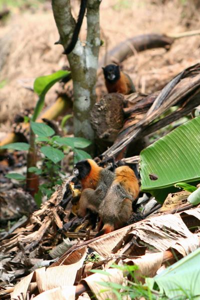 Golden-mantled tamarins (Saguinus tripartitus) raiding a banana garden in Yasuni National Park in the Ecuadorian Amazon