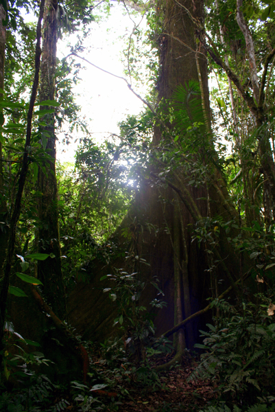Tree and light in Yasuni National Park in the Ecuadorian Amazon