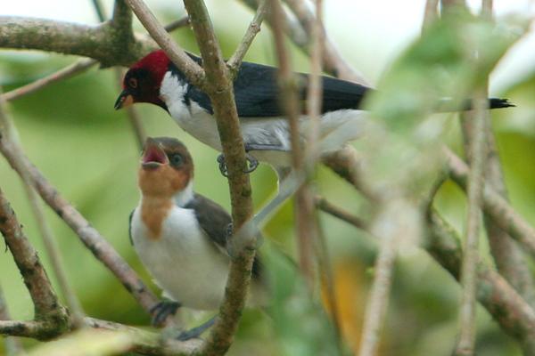 Red-capped cardinal (Paroaria gularis) feeding juvenile in Yasuni National Park in the Ecuadorian Amazon