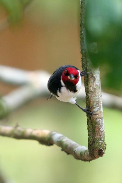 Red-capped cardinal (Paroaria gularis) in Yasuni National Park in the Ecuadorian Amazon
