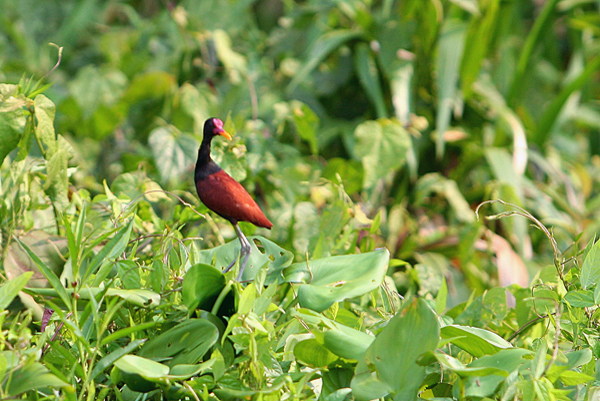 Wattled jacana (Jacana jacana) in Yasuni National Park in the Ecuadorian Amazon