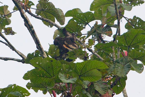 Sloth in Yasuni National Park in the Ecuadorian Amazon