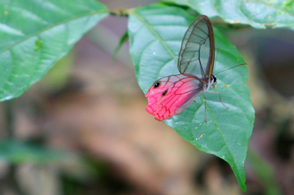 Pink translucent butterfly in Yasuni National Park in the Ecuadorian Amazon