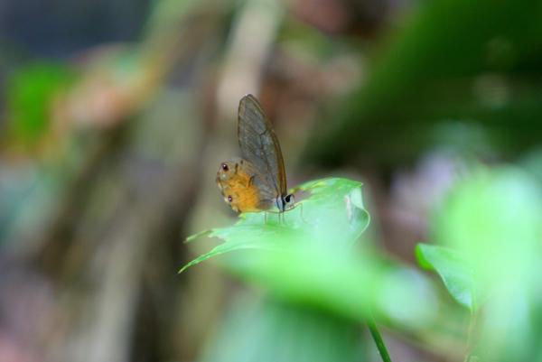 Orange translucent butterfly in Yasuni National Park in the Ecuadorian Amazon
