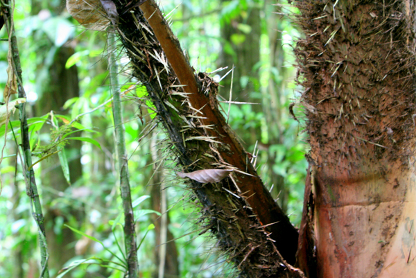 Trees showing off spines in Yasuni National Park in the Ecuadorian Amazon