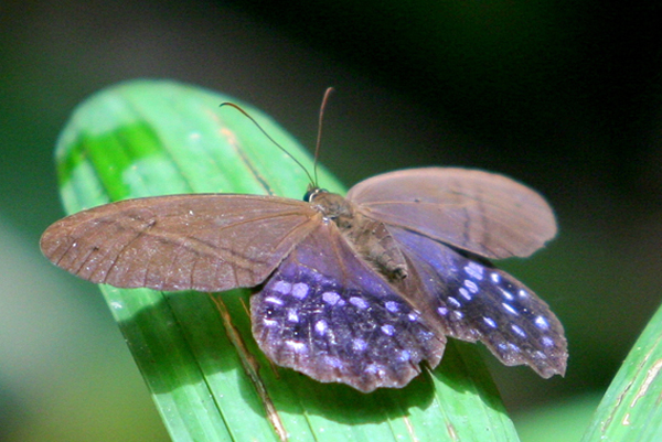 Blue-spotted butterfly or moth in Yasuni National Park in the Ecuadorian Amazon