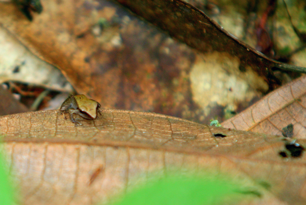 Juvenile frog in the Pristimantis genus in Yasuni National Park in the Ecuadorian Amazon