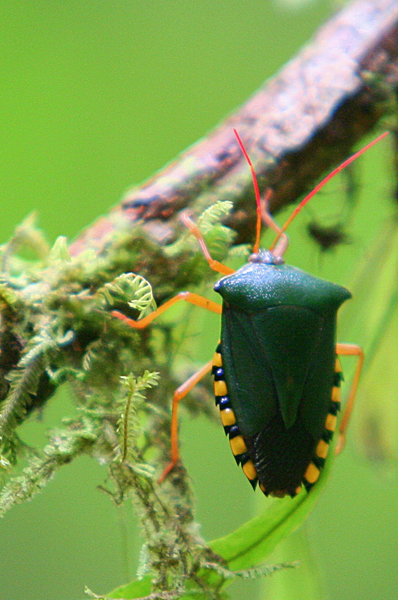 Green insect in Yasuni National Park in the Ecuadorian Amazon