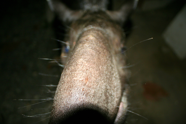 Close-up wild female Brazilian tapir (Tapirus terrestris), which was raised by an indigenous tribe after her mother was hunted for food, periodically seeks out humans