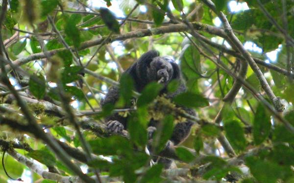 Monk saki (Pithecia monachus) monkey in Yasuni National Park in the Ecuadorian Amazon