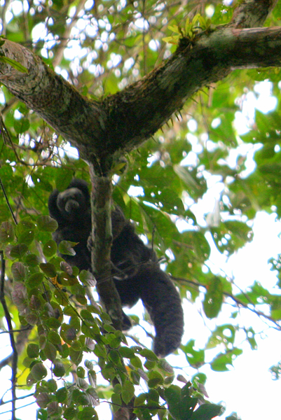 Monk saki (Pithecia monachus) monkey in Yasuni National Park in the Ecuadorian Amazon