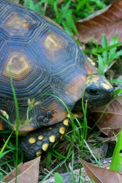 Turtle with what looks like ticks on its shell in Yasuni National Park in the Ecuadorian Amazon