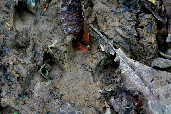 Tapir footprint in Yasuni National Park in the Ecuadorian Amazon