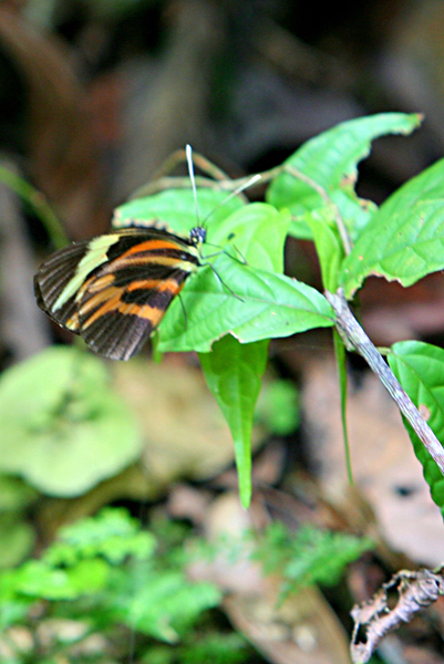 Black-and-orange striped butterfly in Yasuni National Park in the Ecuadorian Amazon