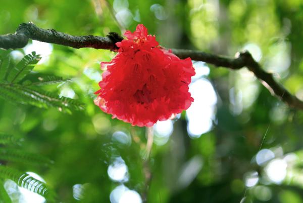 Pink flower in bloom in Yasuni National Park in the Ecuadorian Amazon