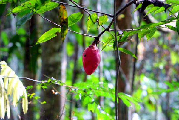 Pink flower in Yasuni National Park in the Ecuadorian Amazon