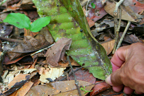 Guide picking up a bom jardim toad (Rhinella dapsilis) with a leaf in Yasuni National Park in the Ecuadorian Amazon