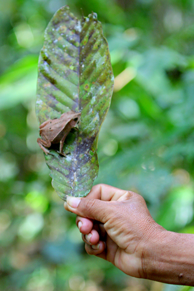 Guide picking up a bom jardim toad (Rhinella dapsilis) with a leaf in Yasuni National Park in the Ecuadorian Amazon